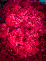 Bunch of red carnations 2 - PhotoDune Item for Sale