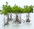Mangrove plant in sea shore aerial roots - PhotoDune Item for Sale