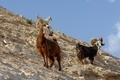 herd of goats on rocky hillside in the desert in Wadi Qelt near Jericho - PhotoDune Item for Sale