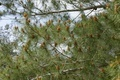 Male pollen cones (strobili) among needles on Mediterranean pine tree, shallow DOF - PhotoDune Item for Sale