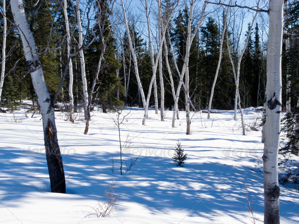 Aspen trees groove in winter boreal forest taiga - Stock Photo - Images