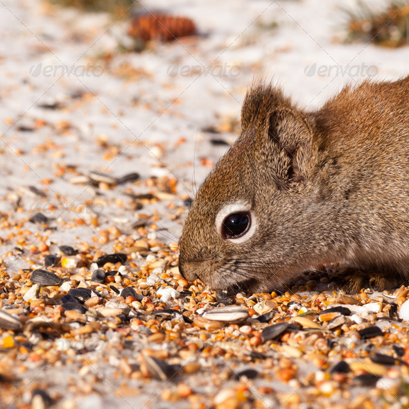 Squirrel Tamiasciurus hudsonicus steals bird food - Stock Photo - Images