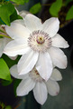 White clematis flowers - PhotoDune Item for Sale