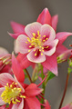 Pink and white columbine flowers - PhotoDune Item for Sale