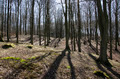 Beech forest in early spring - PhotoDune Item for Sale