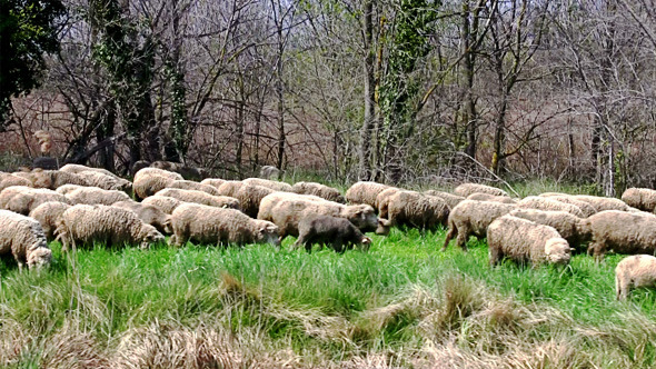 Flock of Sheep Grazing on Banks of the River