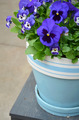 Blue pansy flowerpot - PhotoDune Item for Sale