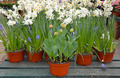 Daffodils and tulips in flower pots - PhotoDune Item for Sale