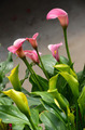 Pink cala lily flowers - PhotoDune Item for Sale