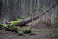 Fallen tree with fungus - PhotoDune Item for Sale