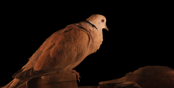 Dove Cooing