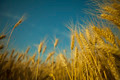 yellow ripe ears of wheat - PhotoDune Item for Sale