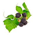 Blackberries with leaves - PhotoDune Item for Sale