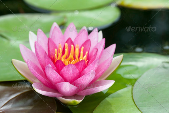 Blossom Pink Lotus - Stock Photo - Images