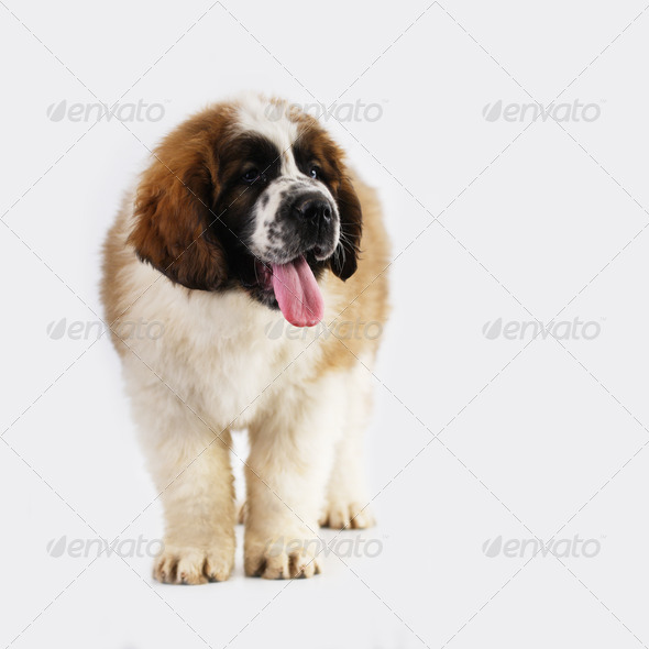 Saint Bernard puppy - Stock Photo - Images