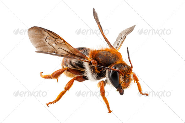 Bee Anthidium sticticum - Stock Photo - Images