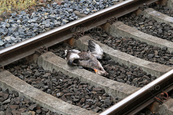 Railroad kill - Stock Photo - Images