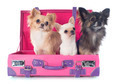 chihuahuas in suitcase - PhotoDune Item for Sale
