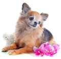 senior chihuahua - PhotoDune Item for Sale