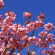 Tree with pink flowers - PhotoDune Item for Sale