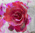 Rose Abstract - PhotoDune Item for Sale