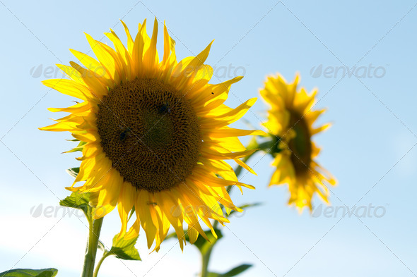 sunflower at a sunny day - Stock Photo - Images