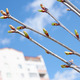 Cherry buds against urban buildings - PhotoDune Item for Sale