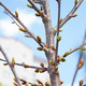 Buds of cherry tree in springtime - PhotoDune Item for Sale