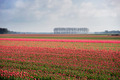 Field with red tulips - PhotoDune Item for Sale