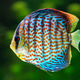 Discus, tropical decorative fish - PhotoDune Item for Sale