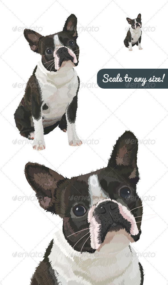 Boston Terrier Vector - Animals Characters