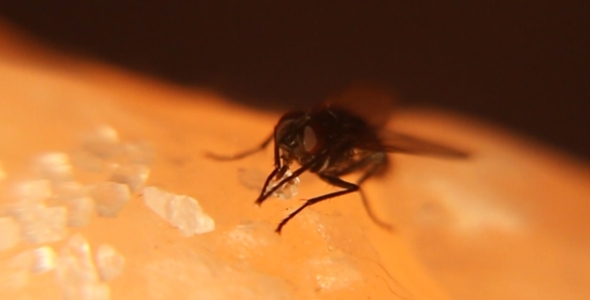 House Fly Sucking On Sugar Crystal 2