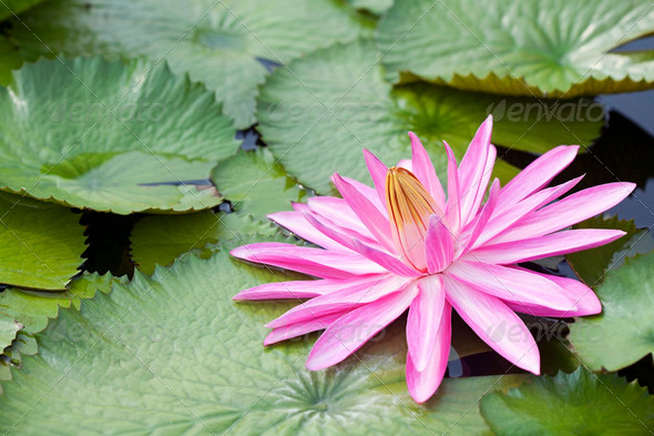 Blossom Lotus Flower - Stock Photo - Images