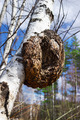 Monstrous excrescence on the white birch trunk - PhotoDune Item for Sale