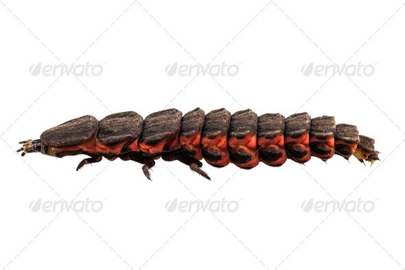 Firefly Nyctophila reichii - Stock Photo - Images