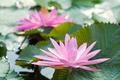 Blossom Pink Lotus Flower - PhotoDune Item for Sale
