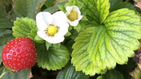 Download Close Up Picking Wild Strawberries nulled download