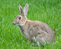 Rabbit on Grass Field with Multi-coloured Eye - PhotoDune Item for Sale