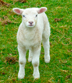 Thin White Sheep on Grass Field - PhotoDune Item for Sale