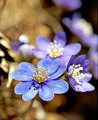 anemone hepatica - PhotoDune Item for Sale