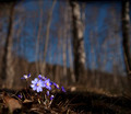 bunch of anemone hepatica - PhotoDune Item for Sale