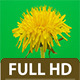 Dandelion Timelapse 2 Pack - VideoHive Item for Sale