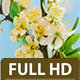 Wild Plum Flower Time Lapse - VideoHive Item for Sale