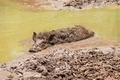 Large dirty black wild pig laying in the mud - PhotoDune Item for Sale
