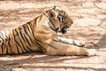 Captured asian bengal tiger in open space in metal chain - PhotoDune Item for Sale