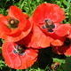 beautiful flower of red poppy - PhotoDune Item for Sale
