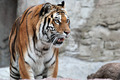 Siberian tiger (Panthera tigris altaica) looking - PhotoDune Item for Sale