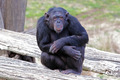 Chimpanzee (Pan Troglodytes) sitting - PhotoDune Item for Sale