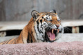 Siberian tiger (Panthera tigris altaica) showing teeth - PhotoDune Item for Sale