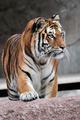 Frontal view of a Siberian tiger (Panthera tigris altaica) - PhotoDune Item for Sale